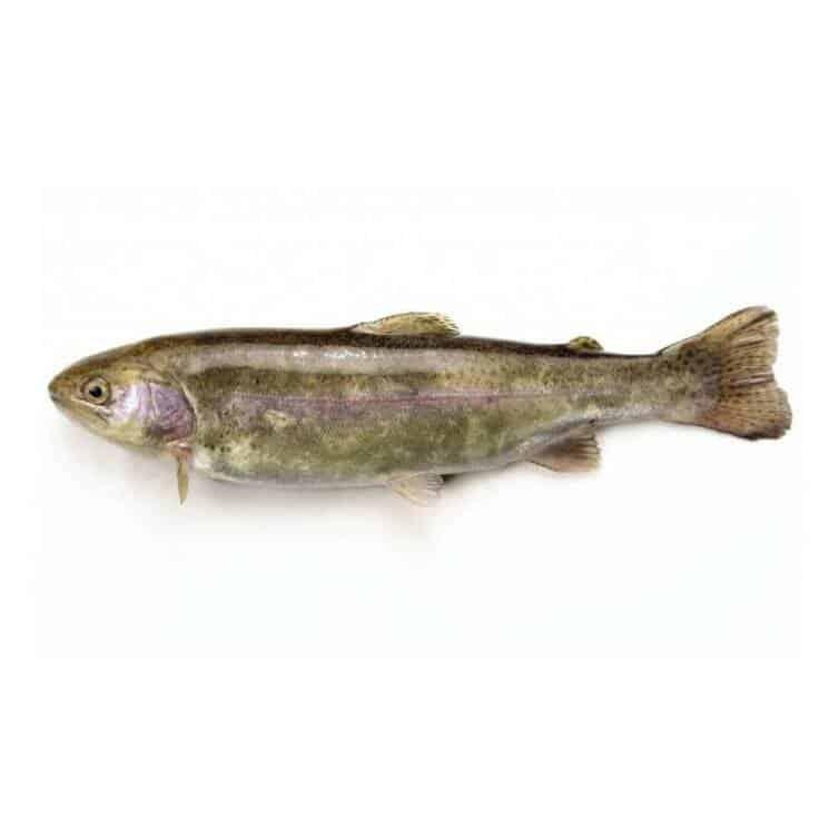 verse forel kopen vishandel oostende neptunus