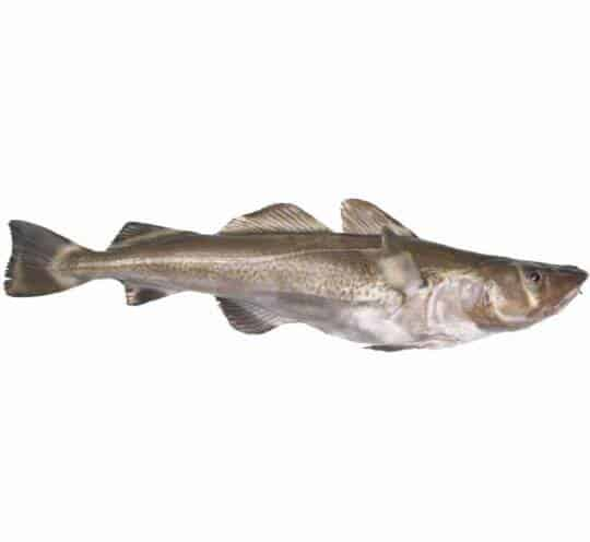 verse kabeljauw kopen vishandel oostende neptunus