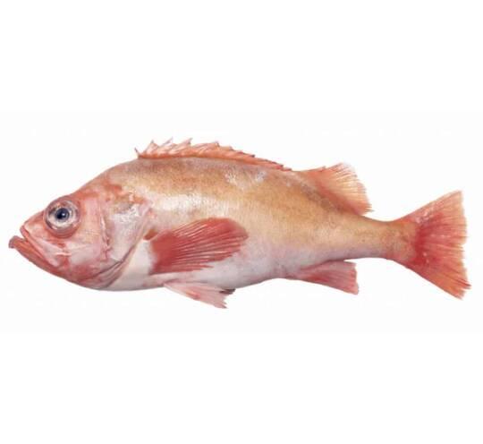 verse roodbaars kopen vishandel oostende neptunus