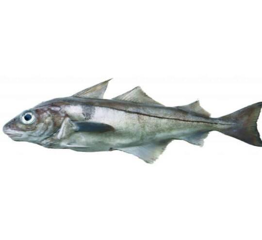 verse schelvis kopen vishandel oostende neptunus