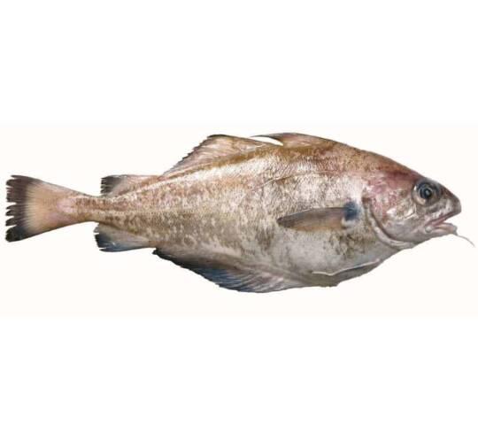 verse steenbolk kopen vishandel oostende neptunus