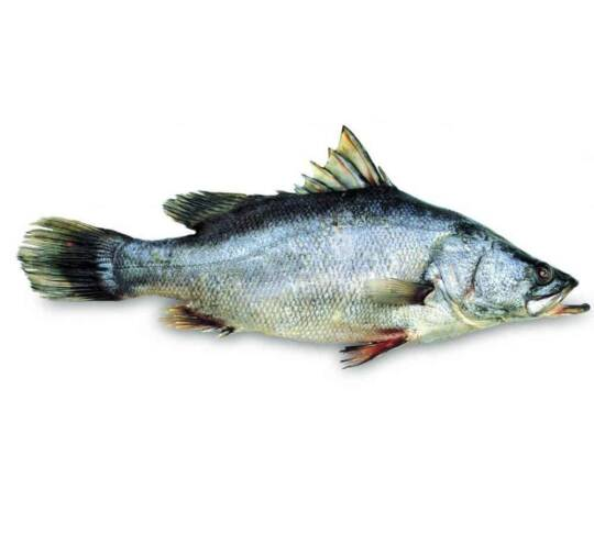 verse victoriabaars kopen vishandel oostende neptunus
