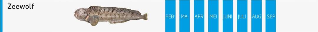 verse-vis-zeewolf-vangstmaanden-visgroothandel-neptunus-oostende