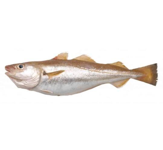 verse wijting kopen vishandel oostende neptunus